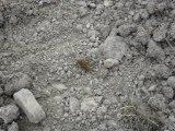 Bouture de saule dans le sol