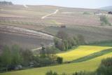 vignes colza